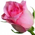 rose-fb-150x150